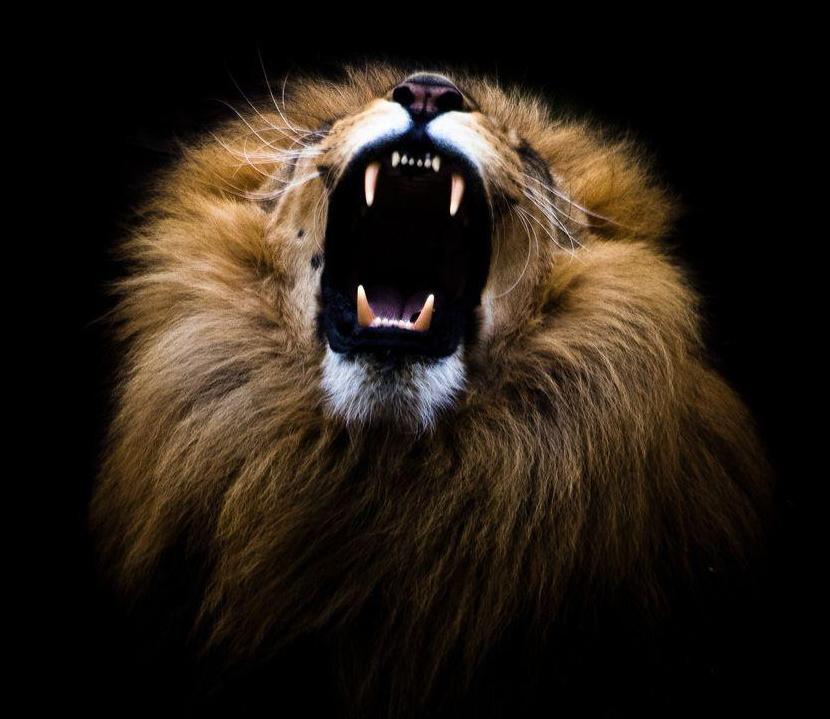 Menprovement Academy Lion